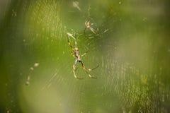 Araña de oro del orbe fotografía de archivo