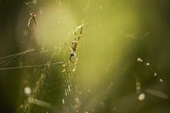 Araña de oro del orbe imagenes de archivo