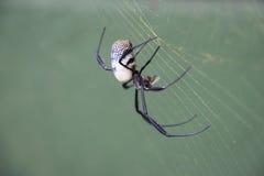 Araña de oro del orbe Foto de archivo libre de regalías