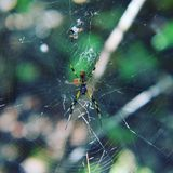 Araña de oro del orbe Fotos de archivo libres de regalías