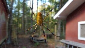 Araña de oro del orbe en su web Fotografía de archivo libre de regalías