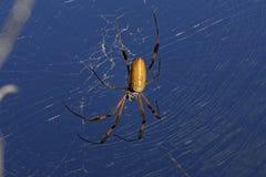Araña de oro del orbe-Web, clavipes del nephila Foto de archivo libre de regalías
