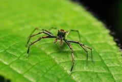 Araña de salto Fotografía de archivo