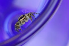 Araña de salto Fotos de archivo