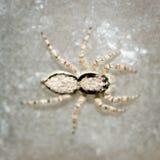 Araña de salto. Imagenes de archivo