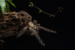 Araña de salto Fotos de archivo libres de regalías