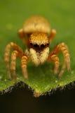 Araña de salto Foto de archivo libre de regalías