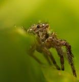 Araña de salto Imagenes de archivo