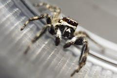 Araña de salto Foto de archivo