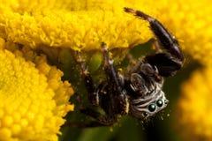 Araña de salto asperjada con polen foto de archivo