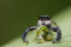 Araña de salto con el gusano Fotografía de archivo