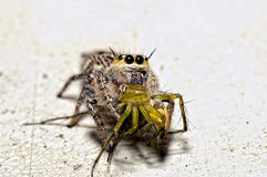 Araña de salto con la araña del lince en la boca Fotografía de archivo libre de regalías