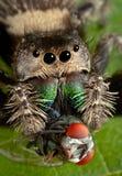 Araña de salto con los colmillos en mosca Fotos de archivo libres de regalías