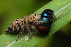 Araña de salto con su presa Foto de archivo