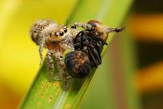 Araña de salto con su presa Imagen de archivo libre de regalías
