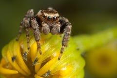 Araña de salto en el brote amarillo foto de archivo