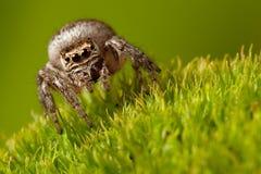 Araña de salto en el fondo verde imagenes de archivo
