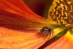 Araña de salto en el pétalo anaranjado Fotografía de archivo libre de regalías