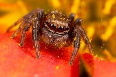 Araña de salto en el pétalo del polen imagen de archivo