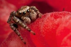 Araña de salto en la frambuesa Fotos de archivo libres de regalías