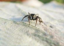 Araña de salto en la hoja Imágenes de archivo libres de regalías
