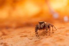 Araña de salto en la hoja brillante del otoño Fotos de archivo
