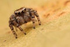 Araña de salto en la hoja del otoño Foto de archivo libre de regalías
