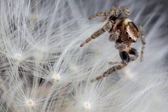 Araña de salto en la planta del diente de león imagen de archivo