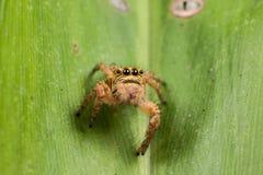 Araña de salto en un cierre verde del extremo de la hoja para arriba Fotos de archivo
