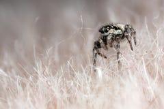 Araña de salto en una piel sintética Fotos de archivo libres de regalías