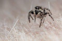 Araña de salto en una piel sintética Imagen de archivo libre de regalías