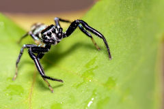 Araña de salto, Malasia Fotografía de archivo