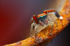 Araña de salto mediterránea (barbipes de Saitis) Imagen de archivo libre de regalías