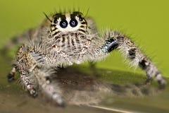 Araña de salto melenuda Fotos de archivo libres de regalías