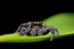 Araña de salto negra en la hoja verde Fotografía de archivo