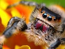 Araña de salto Phidippus regio   Fotos de archivo