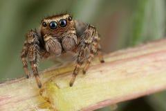 Araña de salto que camina en el tronco Imágenes de archivo libres de regalías