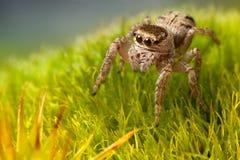 Araña de salto que camina en la hierba verde foto de archivo libre de regalías