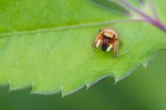 Araña de salto que come el insecto Fotografía de archivo