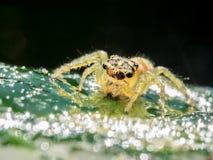 Araña de salto que goza del helada de la mañana imágenes de archivo libres de regalías