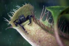 Araña de salto que se sienta en la planta de jarra foto de archivo libre de regalías