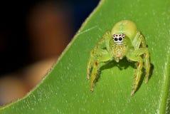 Araña de salto verde Foto de archivo libre de regalías