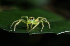 Araña de salto verde en cierre verde del extremo de la hoja encima del phot macro Imágenes de archivo libres de regalías