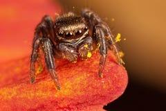 Araña de salto y el polen amarillo foto de archivo libre de regalías