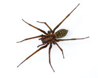 Araña de Tegenaria en blanco Imágenes de archivo libres de regalías