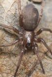 Araña de tierra cautelosa (Gnaphosidae) Imagen de archivo libre de regalías