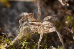 Araña de tierra cautelosa (Gnaphosidae) Fotografía de archivo libre de regalías