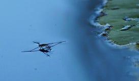 Araña del agua fotos de archivo libres de regalías