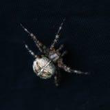 Araña del Araneus en textura negra Imagen de archivo libre de regalías