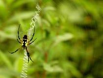 Araña del Argiope Fotografía de archivo